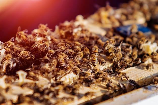Molte api indaffarate lavorano e strisciano sui telai dell'alveare. Foto Premium
