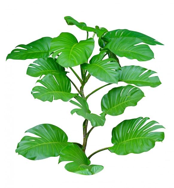 Monstera lascia le foglie con isolato su sfondo bianco foglie su bianco Foto Premium