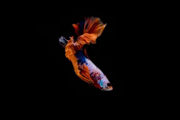 Moto del pesce siamese di betta isolato su fondo nero. Foto Premium