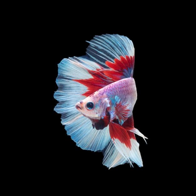 Movimento del pesce betta, pesce combattente siamese, betta splendens isolato sul nero Foto Premium
