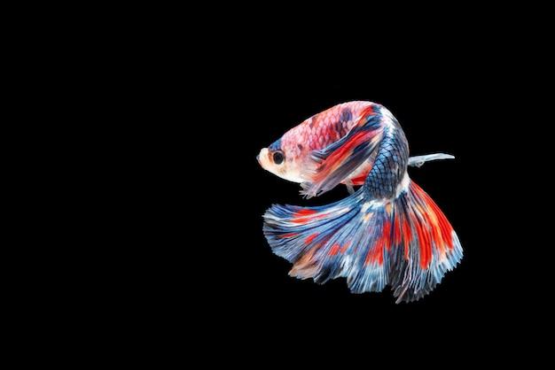 Movimento del pesce betta, pesce combattente siamese Foto Premium