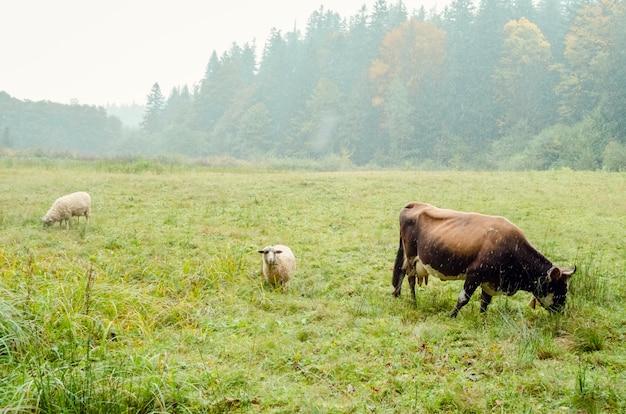 Mucca e due pecore al pascolo nel campo Foto Premium