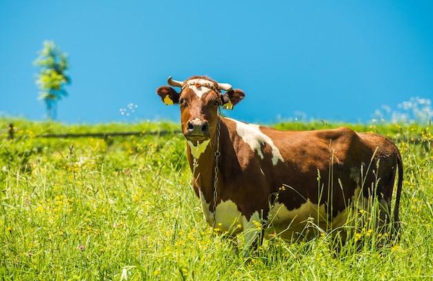 Mucca e prato Foto Gratuite