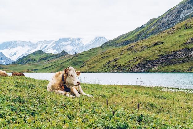 Mucca in svizzera alpi grindelwald prima Foto Premium
