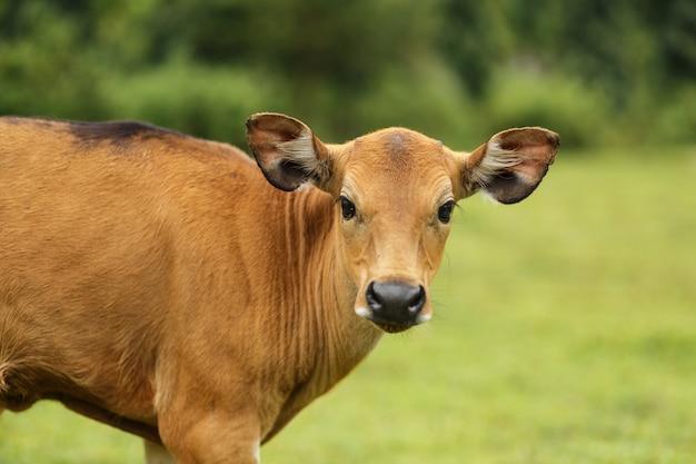 Mucca marrone di colore di balinese del ritratto che pasce in un prato. Foto Premium