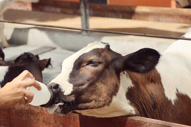 Mucca nella fattoria Foto Premium