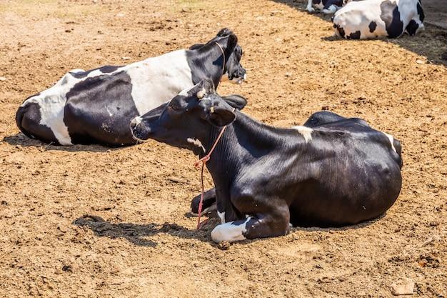 Mucche che dormono in una fattoria. le vacche da latte sono animali economici. Foto Premium