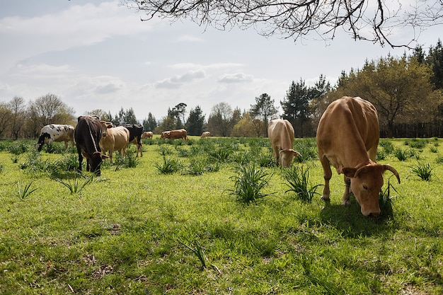 Mucche che pascono in un prato soleggiato in primavera Foto Premium