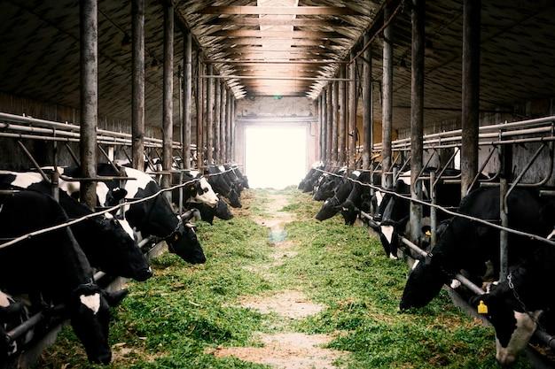 Mucche in bianco e nero in una stalla dell'azienda agricola che mangia erba verde Foto Premium