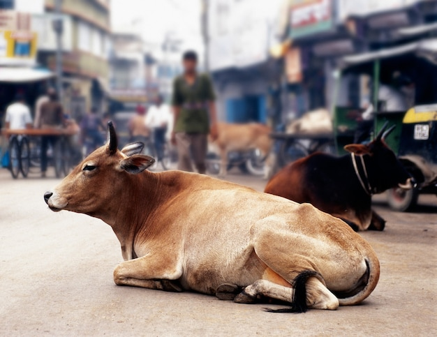 Mucche in india Foto Premium
