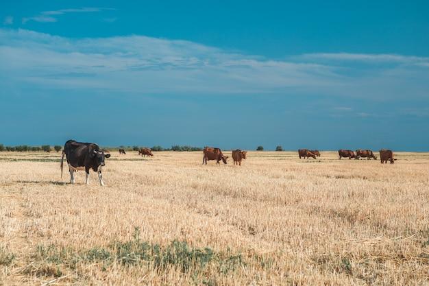 Mucche su un campo e su un cielo blu gialli. Foto Premium