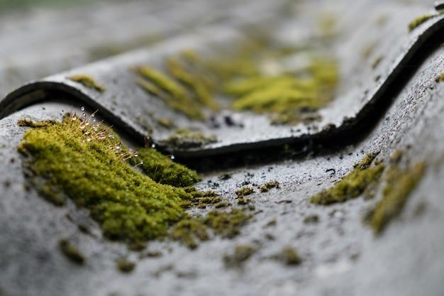 Muschio e gocce d acqua che crescono sulla piastrella del tetto