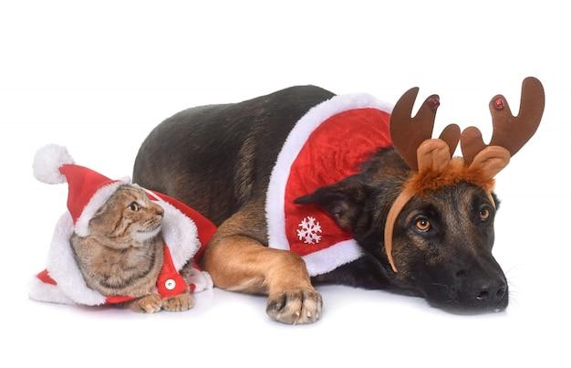 Natale malinois e gatto Foto Premium