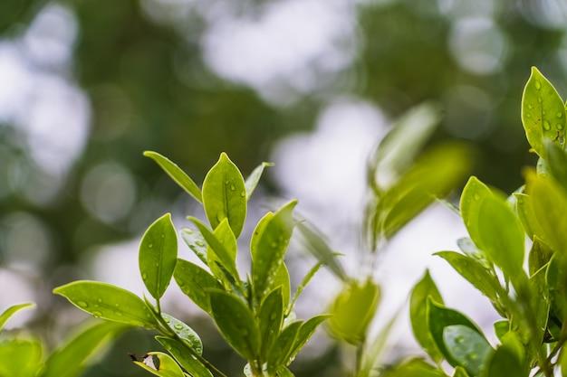 Naturale di foglia verde brillante con goccia di pioggia, stile astratto sfocato Foto Premium