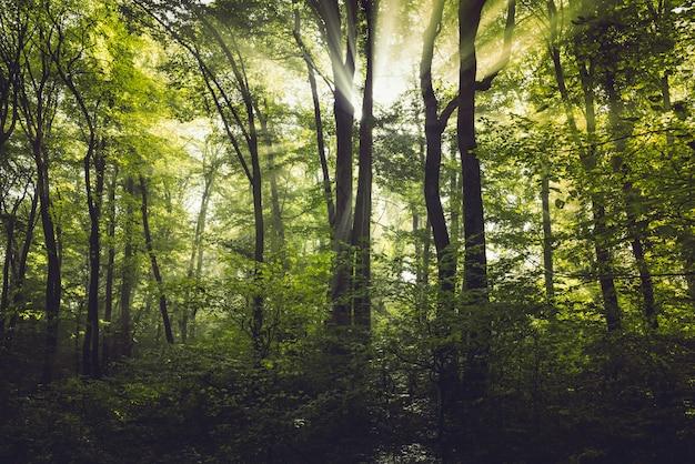 Nebbia mattutina nella foresta Foto Premium