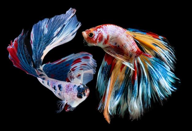 Nemo betta fantasia o pesce combattente siamese. Foto Premium