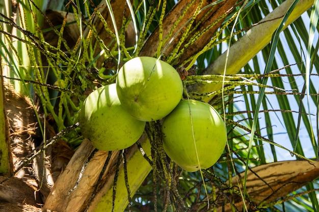 Noce di cocco verde in un cocco a rio de janeiro. Foto Premium
