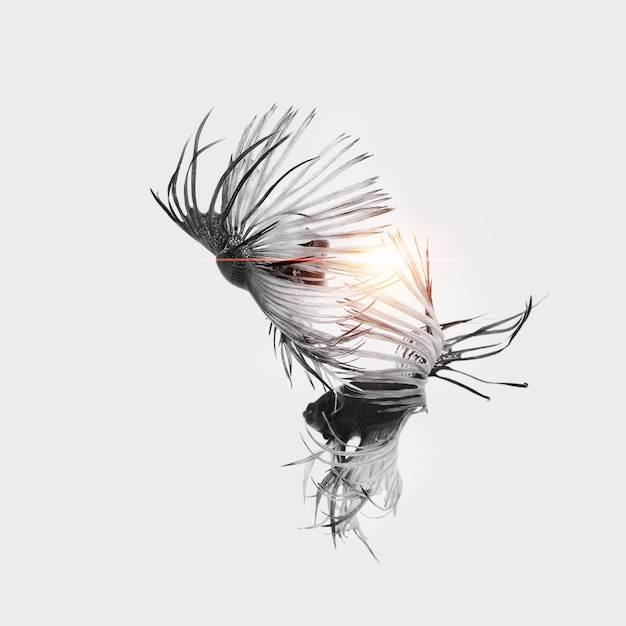Nuoto di coppia di pesce combattente siamese in amore. Foto Premium