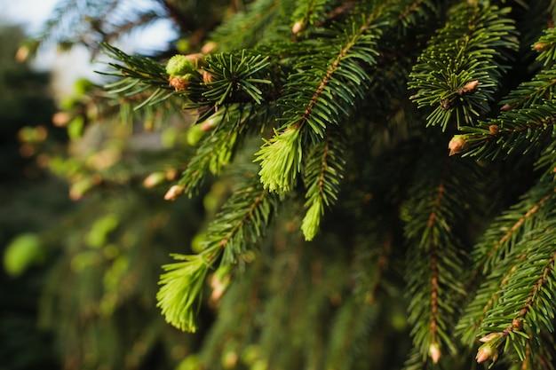Nuovi rami di pino in primavera. germogli di conifere in diversi colori di sfondo verde. Foto Premium