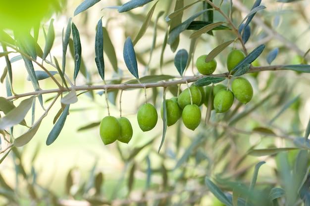 Olive su olivo con bokeh. Foto Premium