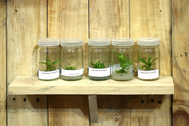 Orchidea, coltura di tessuti vegetali in laboratorio Foto Premium