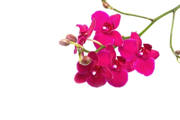 Orchidea Foto Premium