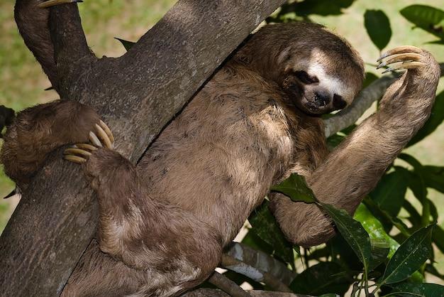 Orso bradipo selvaggio animale giungla Foto Premium