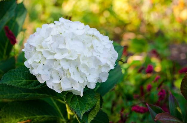 Ortensia bianca in piena fioritura nei giardini botanici di vandusen, vancouver, bc, il canada Foto Premium