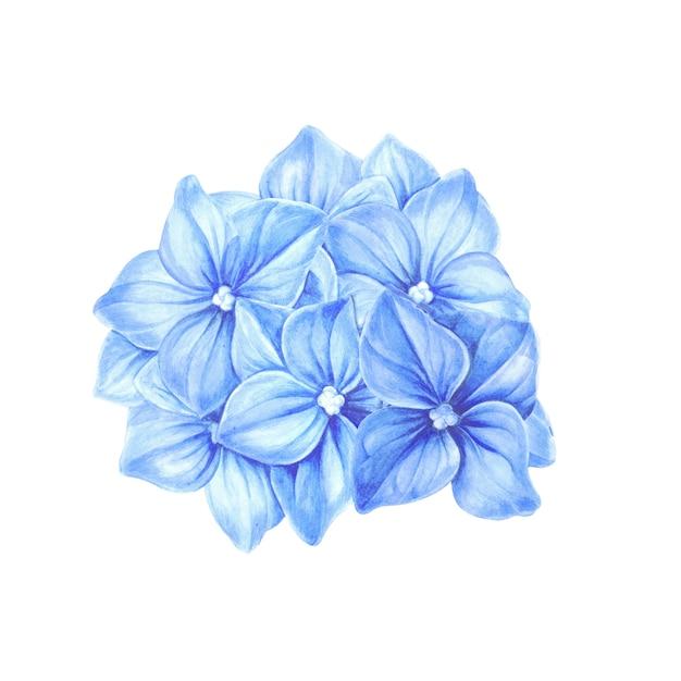 Ortensia blu in fiore. Foto Premium