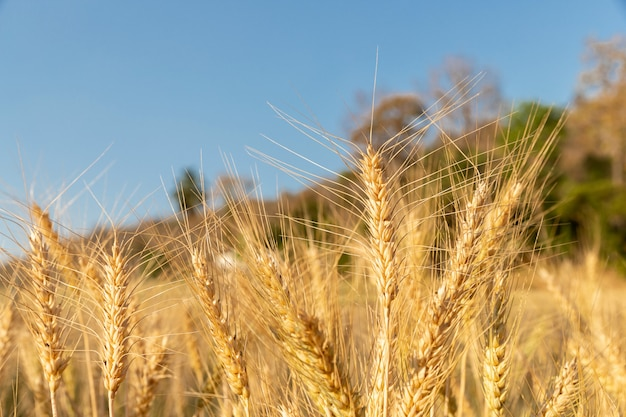 Orzo in campo con una giornata di sole. bellissima natura e aria fresca. Foto Premium