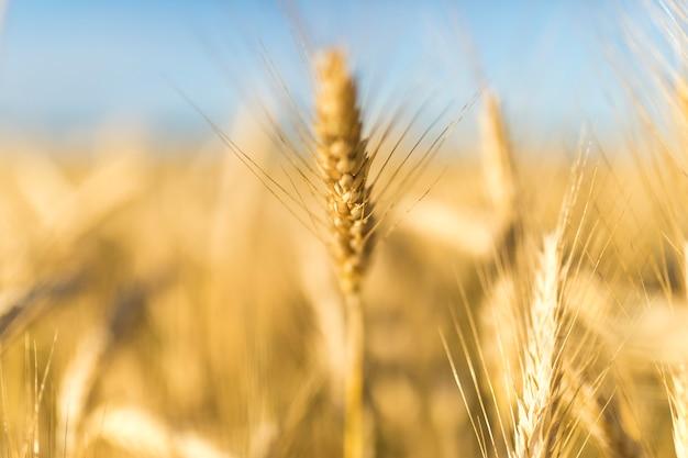 Paesaggio autunnale con spezie dorate di grano Foto Gratuite