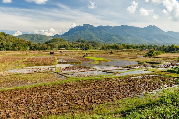 Paesaggio del giacimento del riso nel sud-est asiatico dopo la stagione del raccolto. Foto Premium