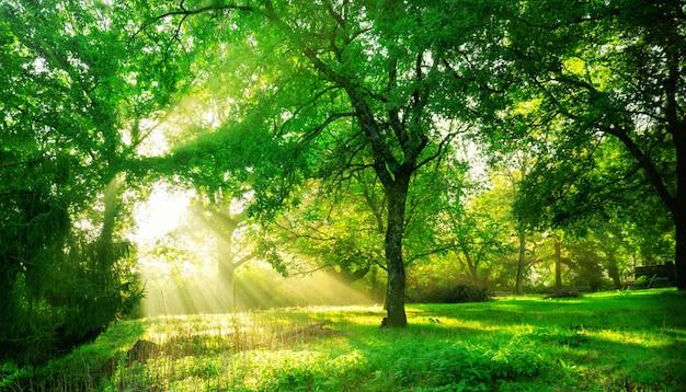 Paesaggio verde della foresta ad alba. Foto Premium