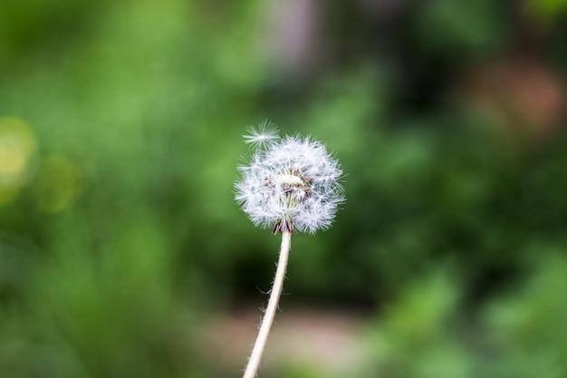 Palla soffio di tarassaco Foto Premium