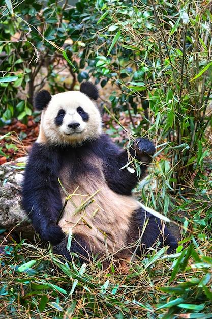Panda gigante che mangia bambù a chengdu cina Foto Premium