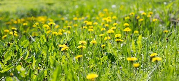 Panorama del campo di tarassaco giallo Foto Premium