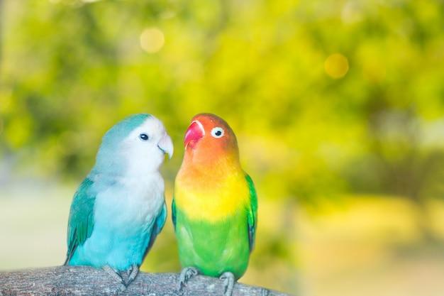 Pappagalli blu e verdi di lovebird che si siedono insieme su un ramo di albero al tramonto Foto Premium