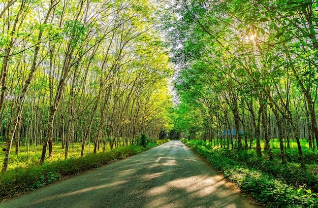 Para albero di gomma, piantagione di gomma di lattice e gomma albero Foto Premium