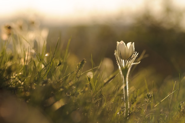 Pasque flower che fiorisce sulla roccia della molla al tramonto. Foto Premium