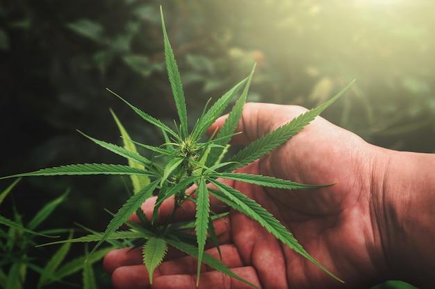 Passi la tenuta della foglia della cannabis in azienda agricola con il tramonto Foto Premium