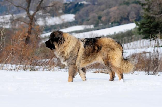 Pastore del ritratto del cane caucaso Foto Premium