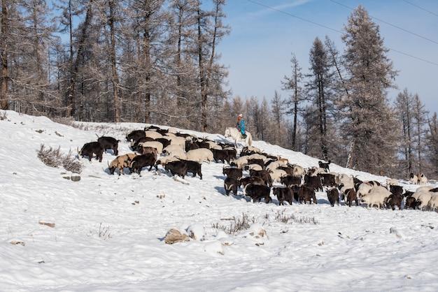 Pastore della ragazza che si siede sul cavallo e che pastora il gregge delle pecore in prateria con le montagne innevate sul fondo Foto Premium