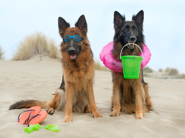 Pastori tedeschi sulla spiaggia Foto Premium