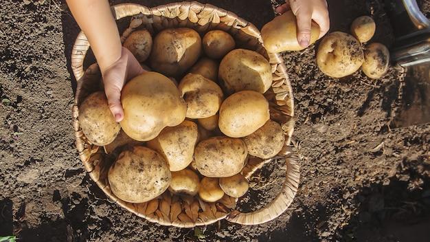 Patate da raccolto organiche fatte in casa. messa a fuoco selettiva Foto Premium