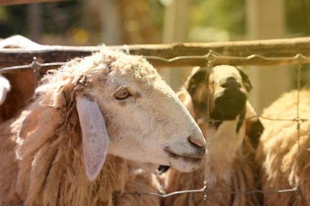 Pecore maschii nell'azienda agricola che aspetta alimento Foto Premium