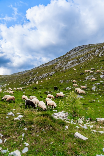 Pecore sui campi di montagna. Foto Premium
