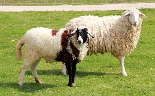 Pecore sul campo. Foto Premium
