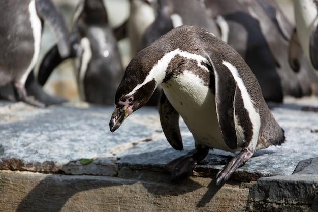 Penguin sta cercando di tuffarsi in acqua, sullo sfondo un gruppo di pinguini di humboldt Foto Premium