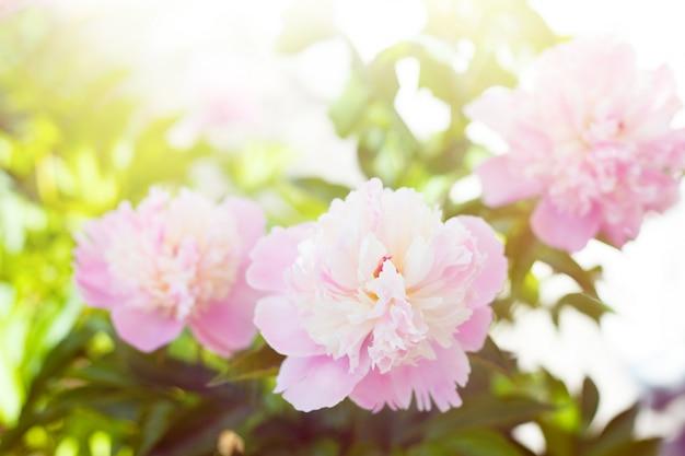 Peonia bianca Foto Gratuite