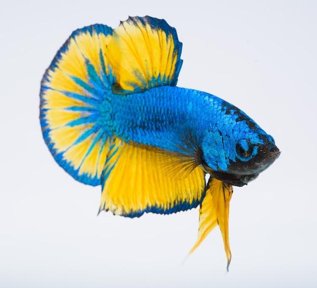 Pesce betta, pesce combattente siamese, cattura del pesce in movimento Foto Premium